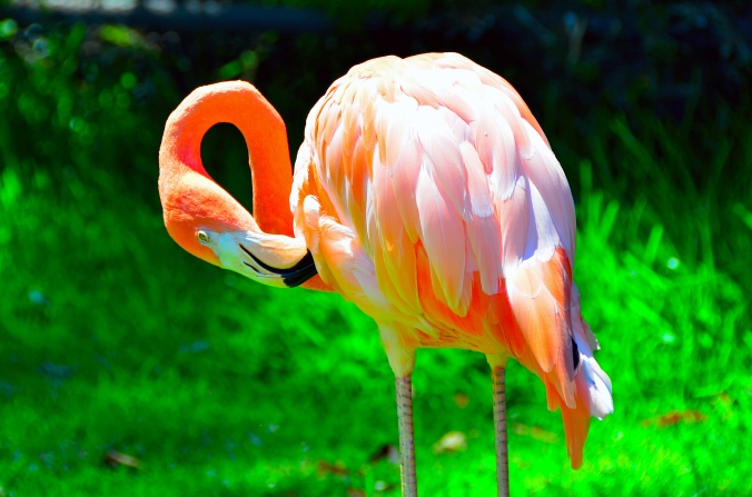 flamingo san diego zoo