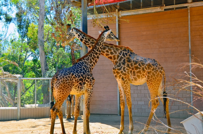 giraffer san diego zoo