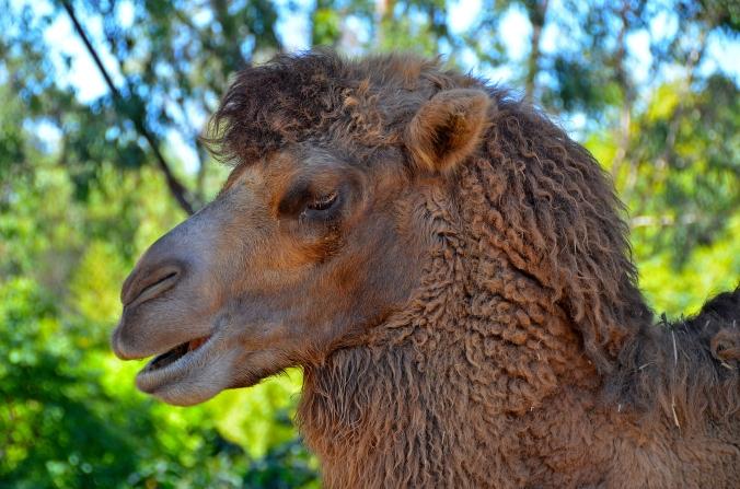 kamel san diego zoo